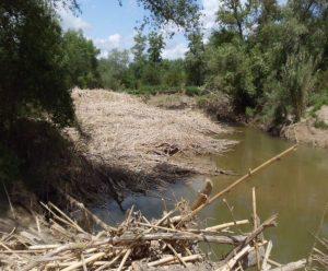 Flotantes retenidos en una mejana del río Ebro a su paso por el término municipal de Novillas (Zaragoza)